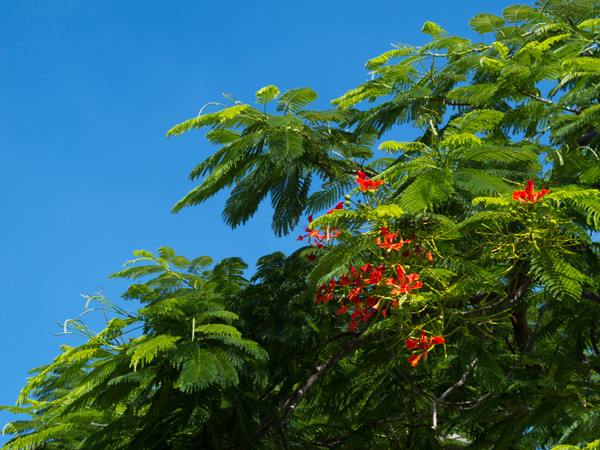 A tree on the Bahamian island of Nassau in the Caribbean shows off its vibrant green leaves and overwhelming red flowers against a brilliant blue sky.
